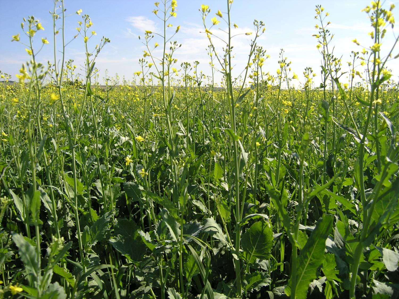 Выращивание ярового рапса в украине 49
